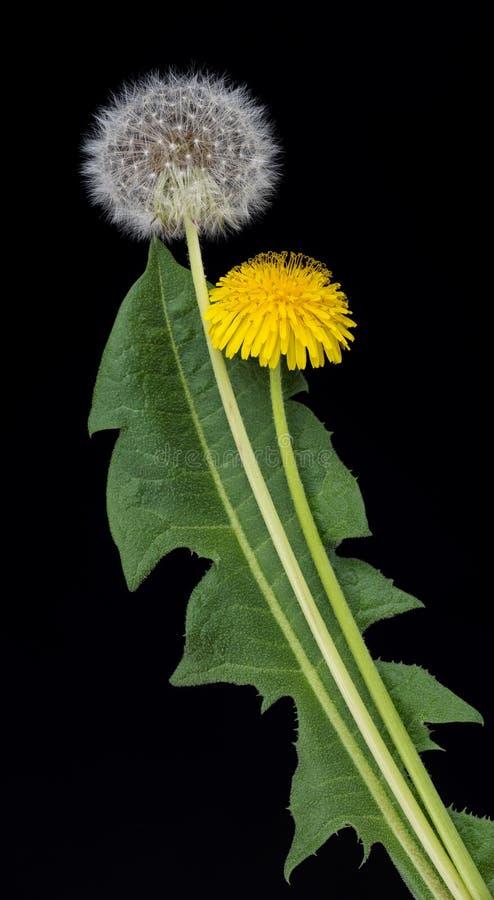 Flores brilhantes do dandellion imagem de stock