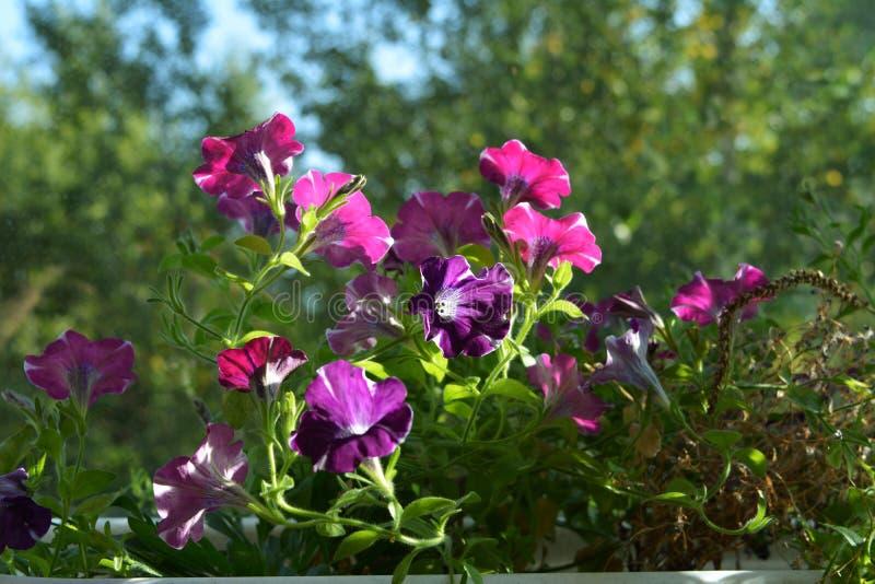 Flores brilhantes do petúnia no fundo natural borrado Balcão que esverdeia com as plantas de florescência em uns potenciômetros d fotografia de stock