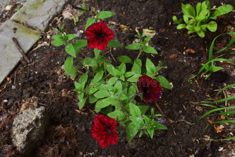 Flores brillantes de la petunia en la yarda de la ciudad greening El cultivar un huerto de la guerrilla imagen de archivo