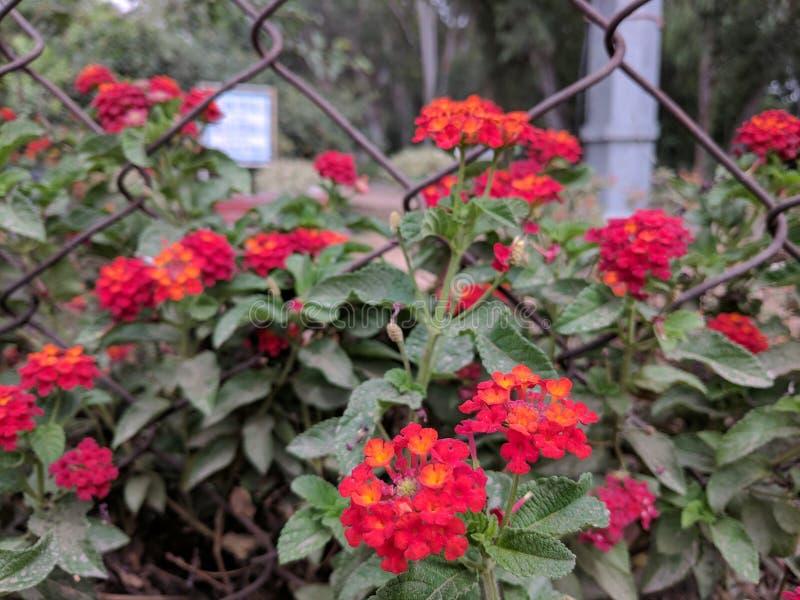 Flores brillantes rojas foto de archivo