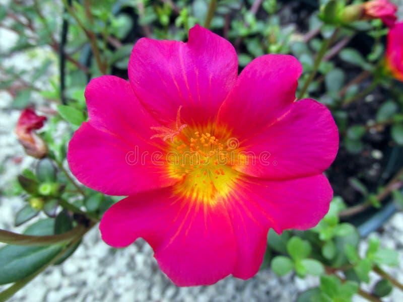 Flores brillantes rojas en jard?n en el invierno o el d?a de primavera fotografía de archivo libre de regalías