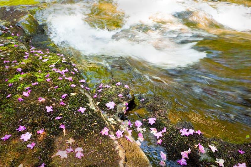 Flores caídas Bagulnik no córrego Smolny fotos de stock
