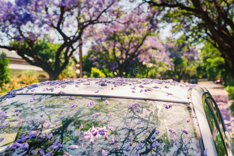 flores caídas do jacaranda fotos de stock royalty free