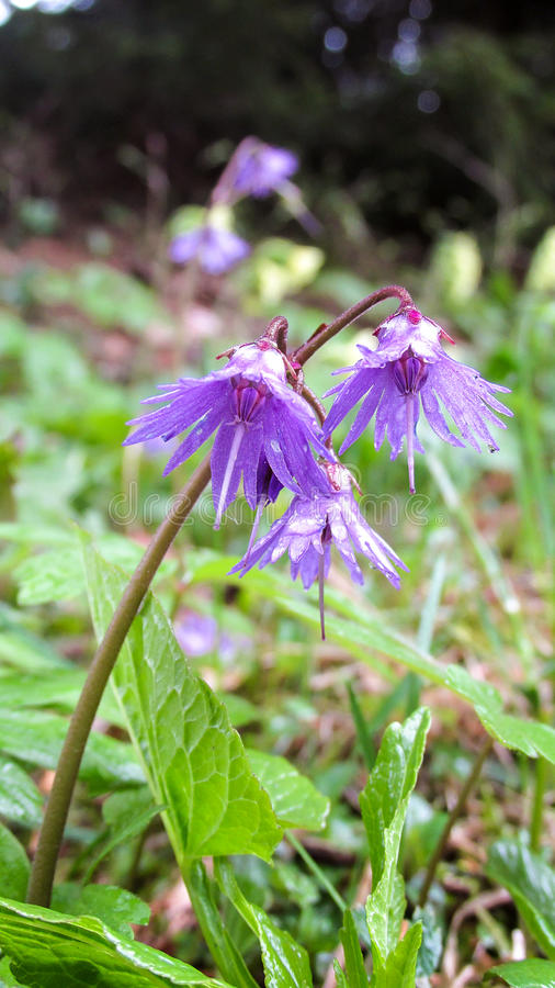 Flores Carpathian fotografia de stock royalty free
