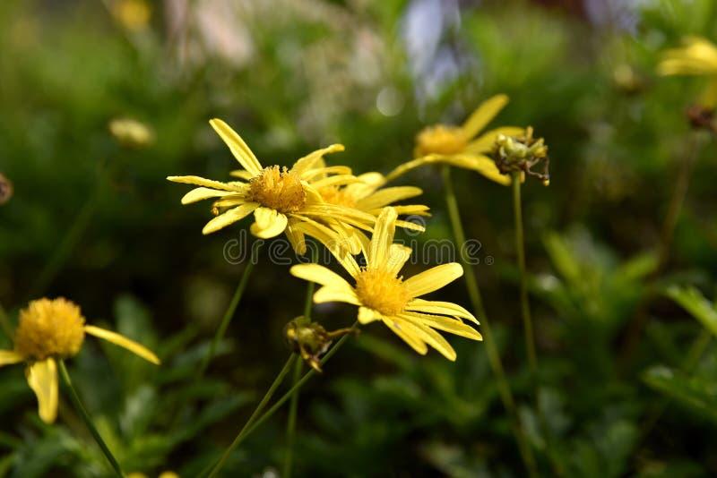 Flores cercanas en el Jardín, Ciudad de Baguio, Filipinas fotos de archivo