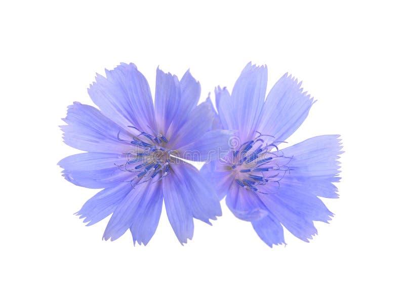Flores chicória ou do intybus comum do Cichorium Isolado no branco fotografia de stock royalty free