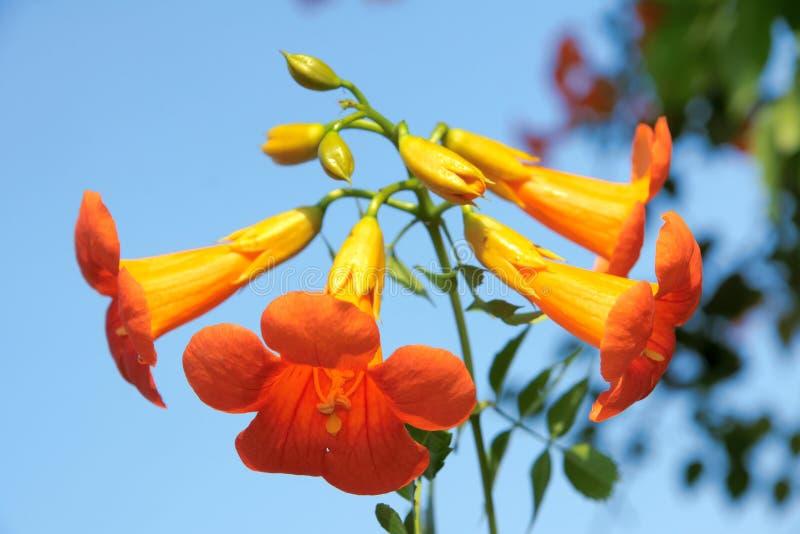 Flores chinas de la enredadera de trompeta imagenes de archivo