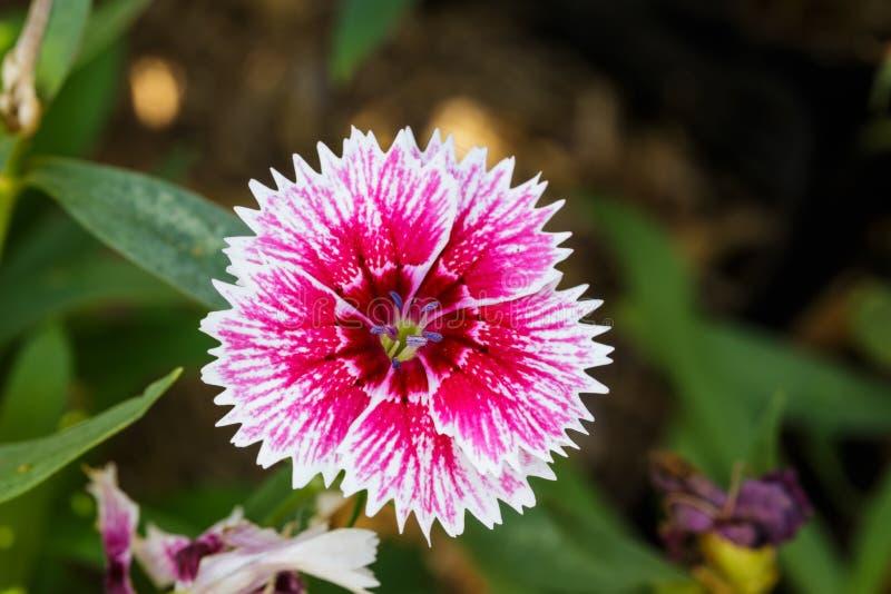 Flores Chinensis del clavel rojo blanco foto de archivo