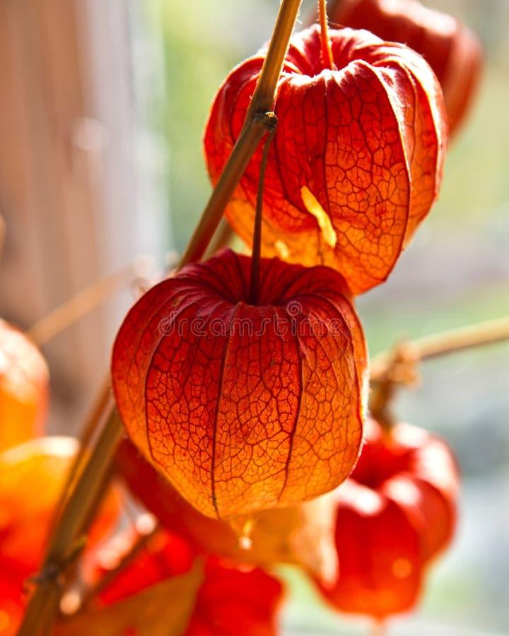 Flores chinesas da lanterna imagens de stock royalty free