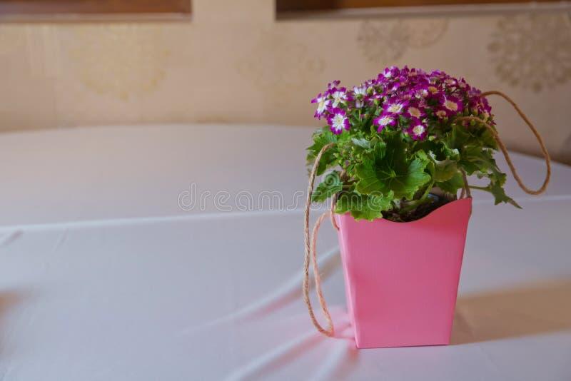 Flores: Cineraria púrpura y blanco Macizo de flores magenta de los asteres Profundidad del campo baja bonteque púrpura de los seg fotografía de archivo