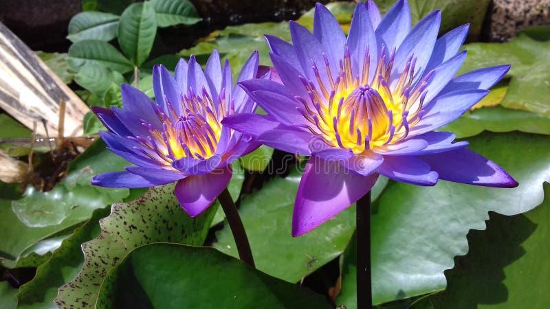 Flores cingalesas da nação foto de stock