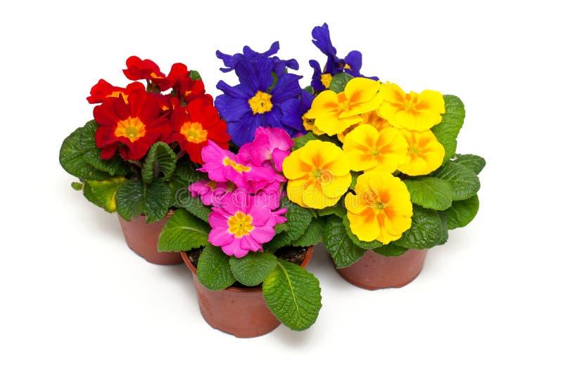Flores clasificadas de la prímula en potes fotografía de archivo