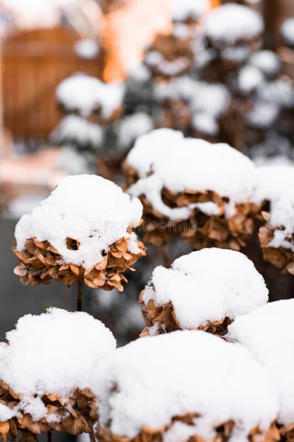 Flores cobertas na neve imagens de stock royalty free