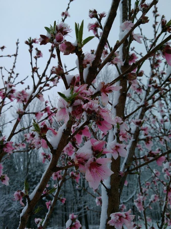 Flores cobertos de neve do pêssego imagens de stock royalty free