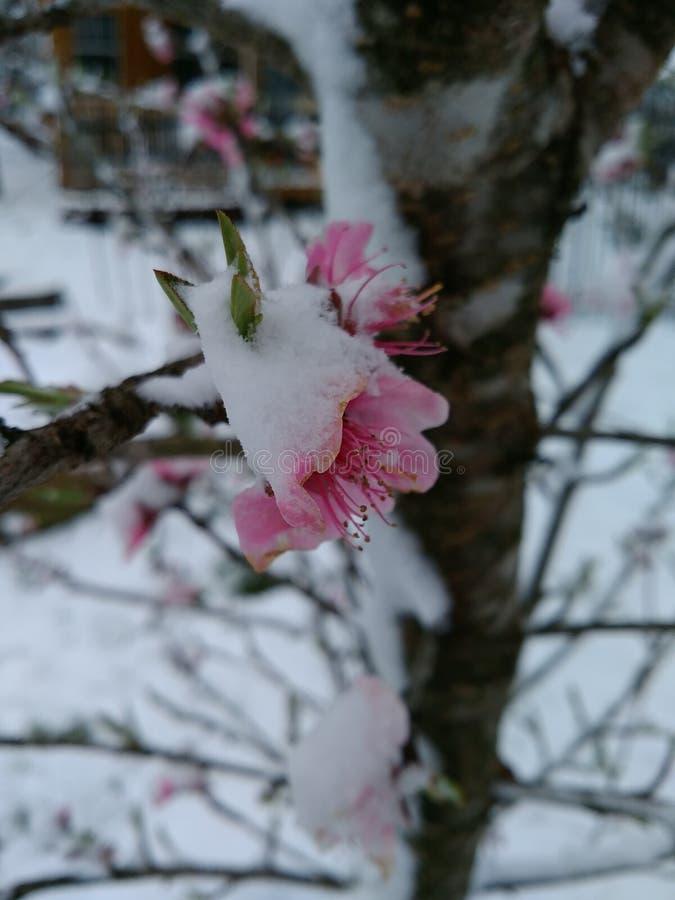 Flores cobertos de neve do pêssego fotografia de stock royalty free