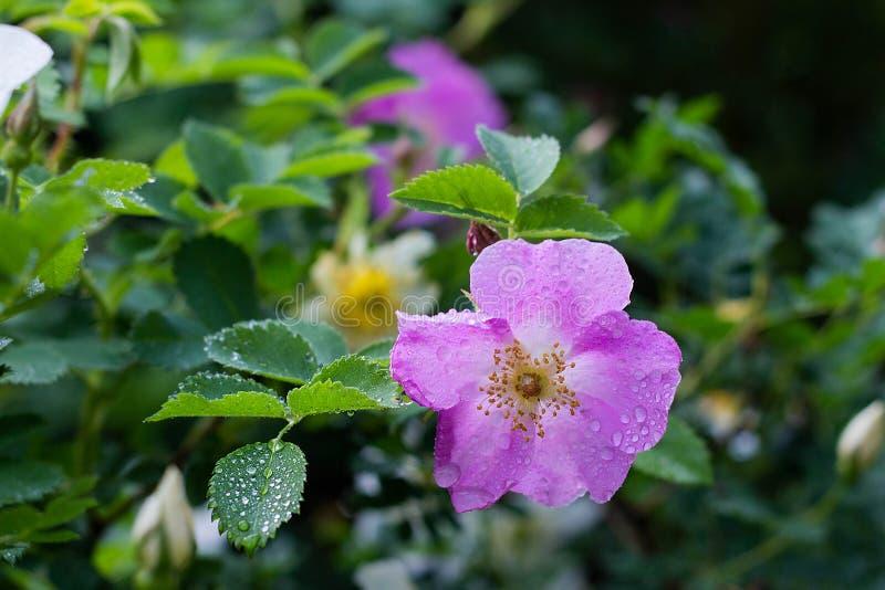 flores color de rosa salvajes del rosa en el jard?n, primavera, primer imagenes de archivo