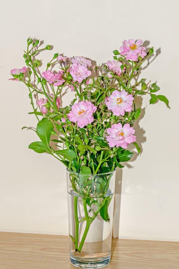 Flores color de rosa salvajes rosadas, arbusto verde de la rama, cierre encima de transparente imagen de archivo libre de regalías