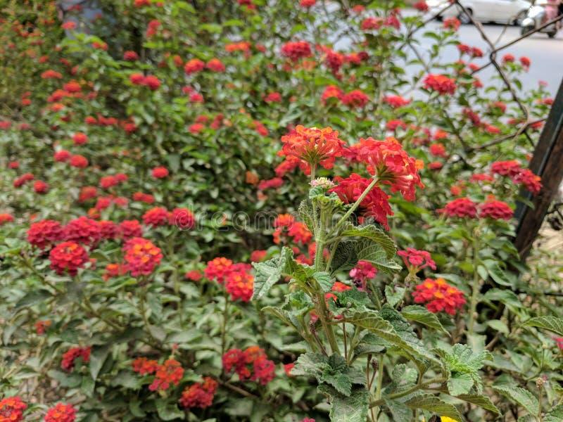 Flores coloreadas brillantes anaranjadas rojas imagen de archivo libre de regalías