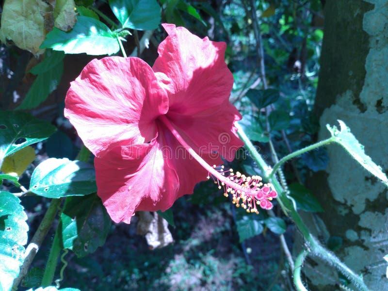 Flores coloreadas rojas del hibisco imágenes de archivo libres de regalías