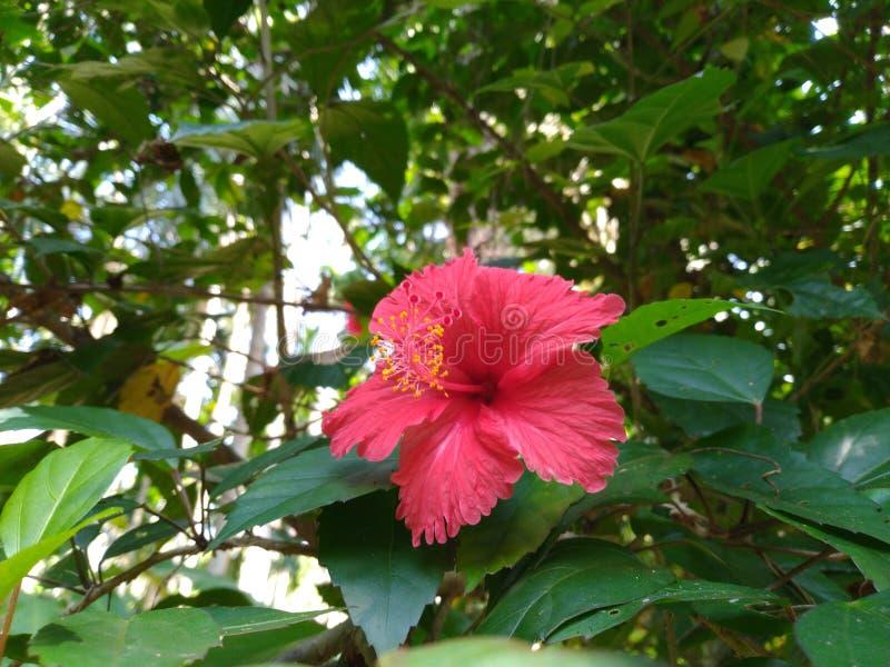 Flores coloreadas rojas del hibisco imagenes de archivo