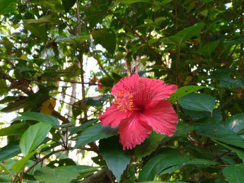 Flores coloreadas rojas del hibisco fotografía de archivo libre de regalías
