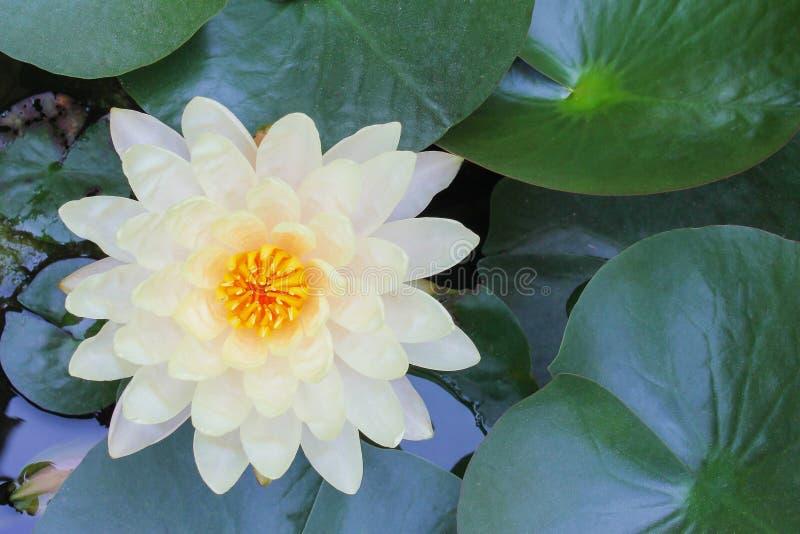 Flores coloridas bonitas das flores de lótus brancas da pétala com florescência amarela do pólen e da folha no fundo da água, dec imagem de stock