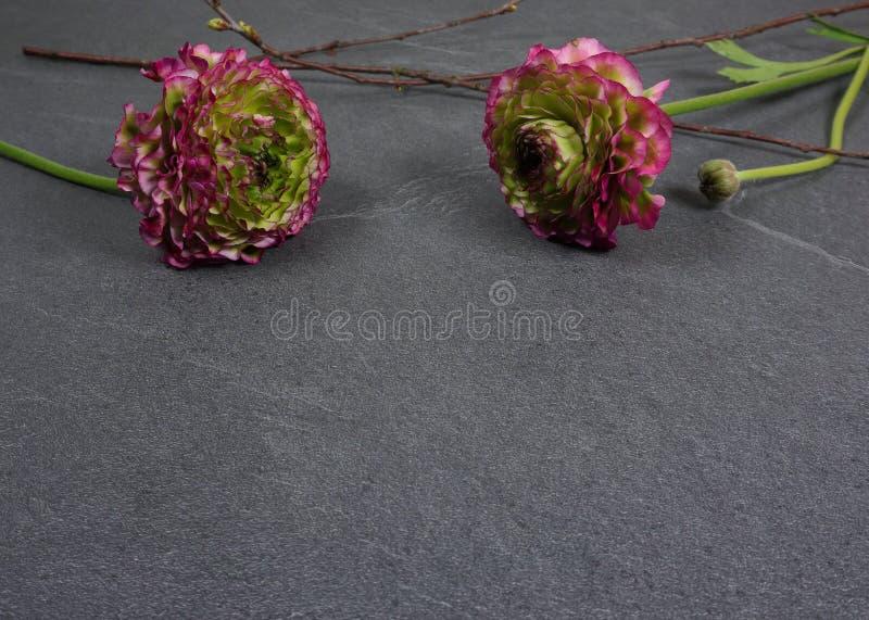 Flores coloridas bonitas do ranúnculo em um fundo de madeira cinzento imagem de stock royalty free