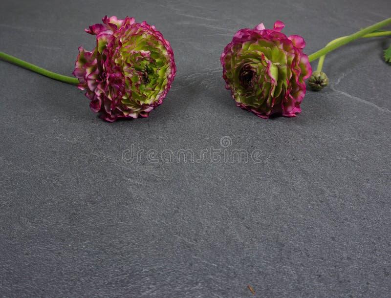 Flores coloridas bonitas do ranúnculo em um fundo de madeira cinzento imagens de stock