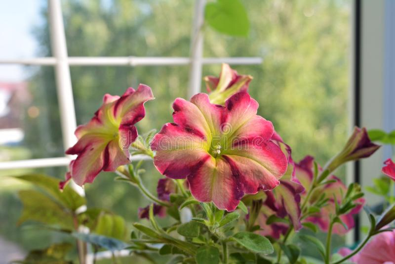 Flores coloridas brilhantes do petúnia Balcão que jardina com as plantas de florescência do verão imagens de stock