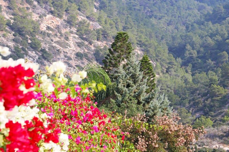 Flores coloridas da buganvília na floresta foto de stock royalty free