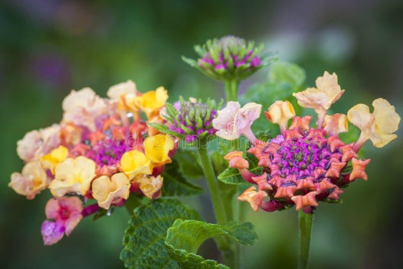 Flores coloridas da flor imagens de stock