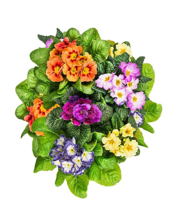 Flores coloridas da prímula, isoladas no branco fotos de stock royalty free