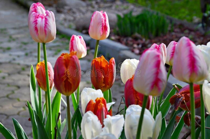 Flores coloridas da tulipa da mola no jardim fotografia de stock