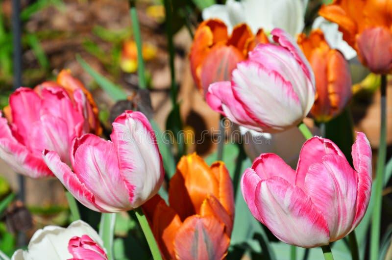 Flores coloridas da tulipa da mola imagem de stock