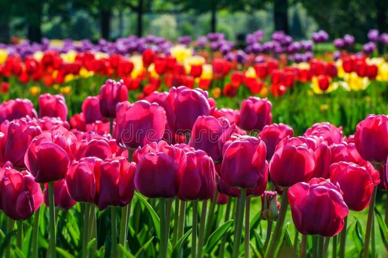 Flores coloridas da tulipa no dia ensolarado da mola imagem de stock