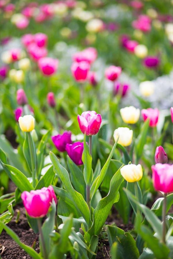 Flores coloridas da tulipa que florescem em uma flor em botão do jardim imagens de stock royalty free