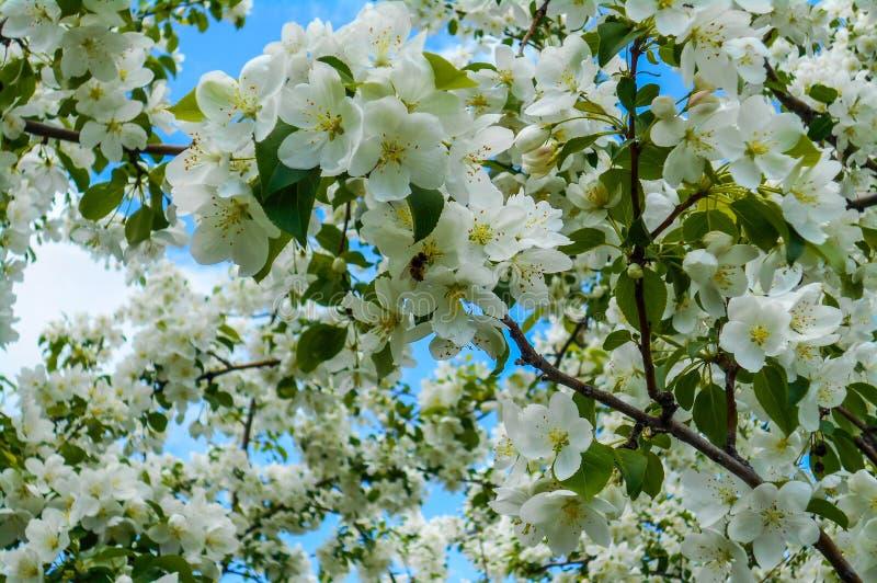 Flores coloridas de Apple contra o fundo do céu azul O dossel das árvores que quadro um céu azul claro imagens de stock royalty free
