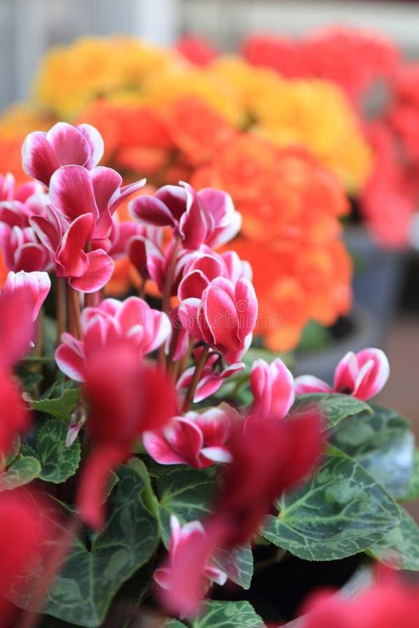 Flores coloridas de la begonia, fondo del jardín del verano imagen de archivo