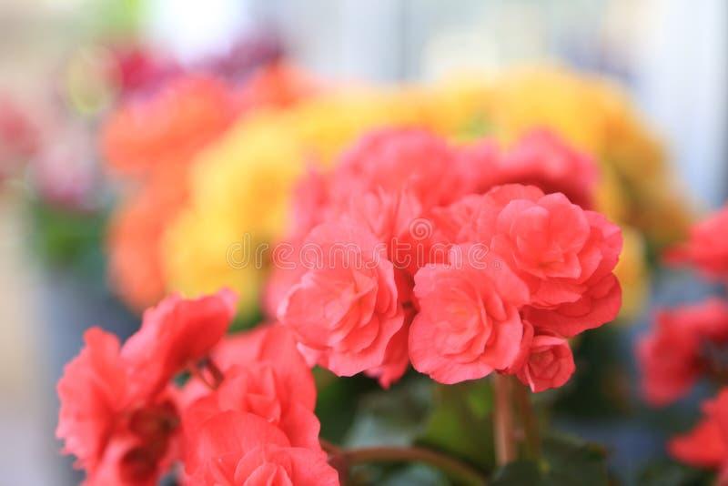 Flores coloridas de la begonia, fondo del jard?n del verano fotografía de archivo