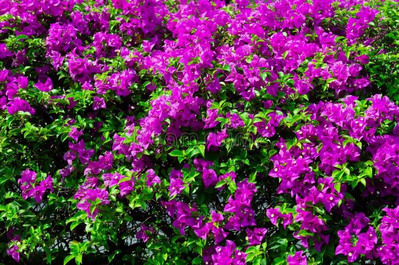 Flores coloridas de la buganvilla en la floración rosada del color imagen de archivo libre de regalías