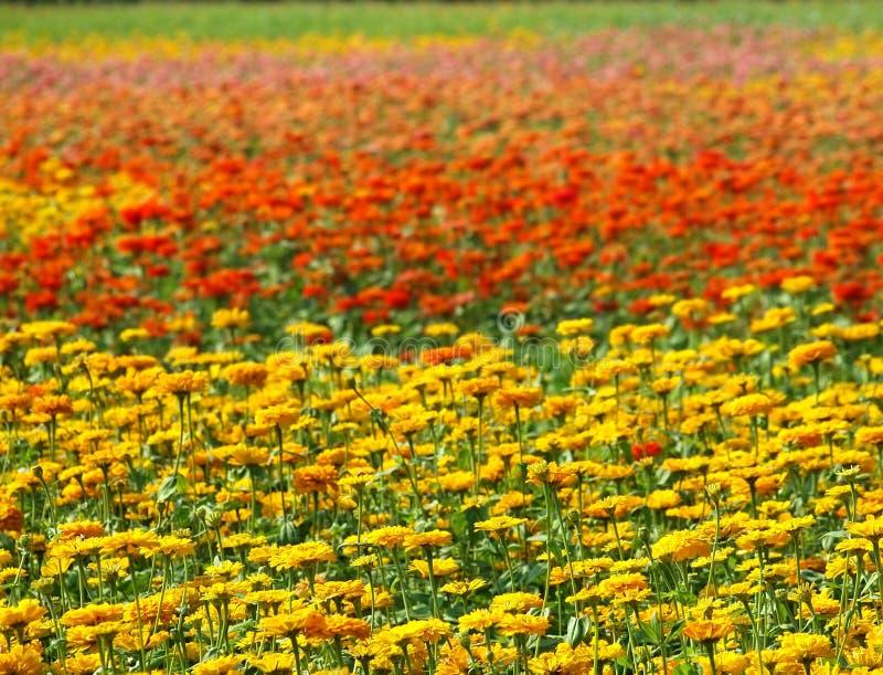 Flores coloridas de la maravilla foto de archivo