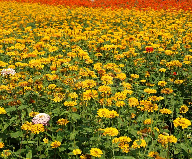Flores coloridas de la maravilla foto de archivo libre de regalías