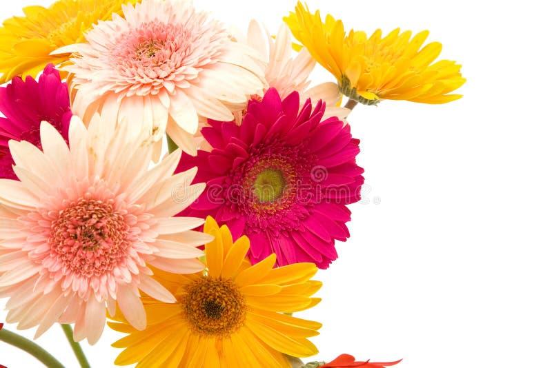 Flores coloridas de la margarita foto de archivo