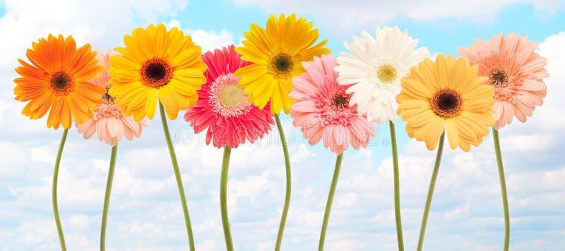 Flores coloridas de la margarita foto de archivo libre de regalías