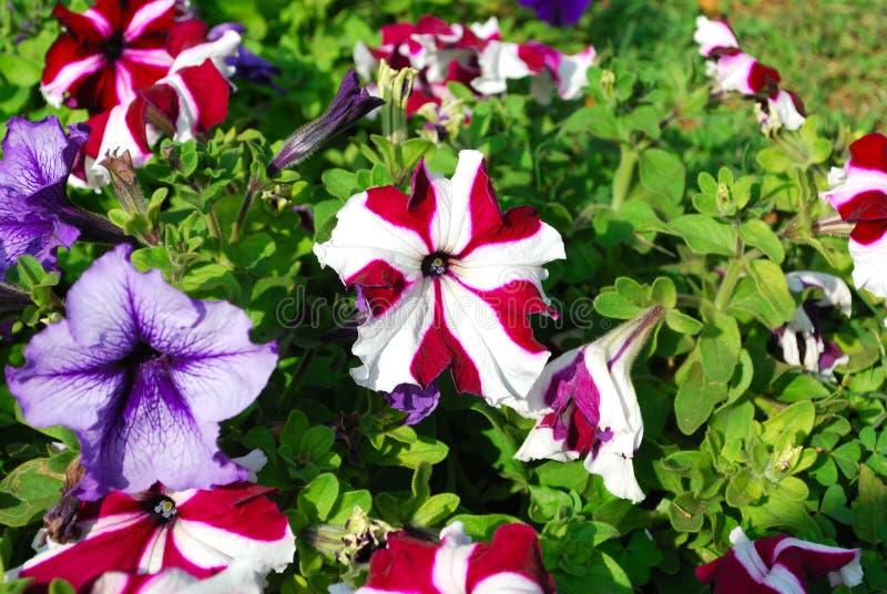 Flores coloridas de la petunia imagenes de archivo