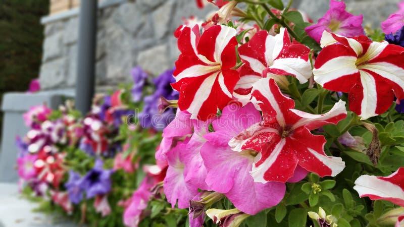 Flores coloridas de la petunia imagen de archivo libre de regalías