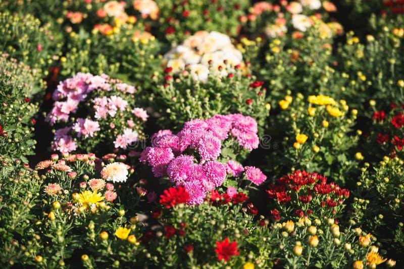 Flores coloridas de los crisantemos listas para plantar imagen de archivo libre de regalías