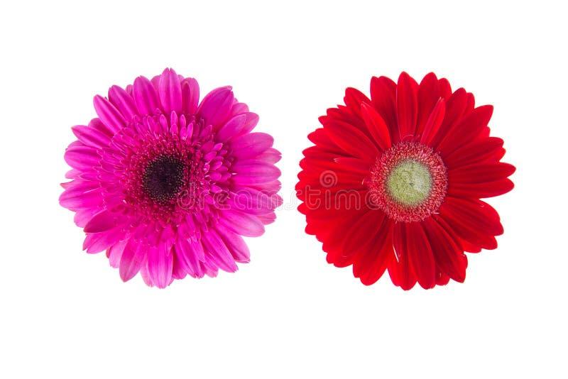 Flores coloridas de los gerbers aisladas imagen de archivo
