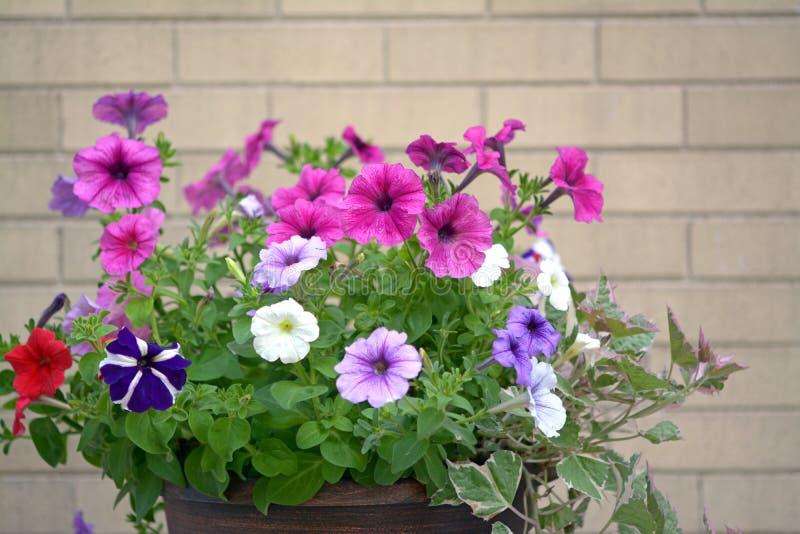 Flores coloridas de petúnia foto de stock
