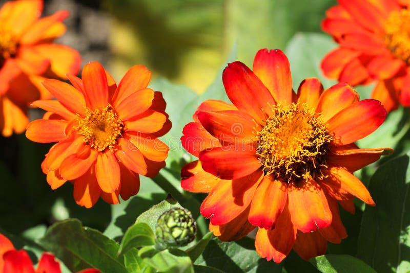 Flores coloridas de Tagetes Patula (maravilla francesa) foto de archivo